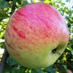 !NOUVEAU! Pomme ROULIN pour...