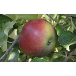 !NOUVEAU! Pomme BELLE-FLEUR...