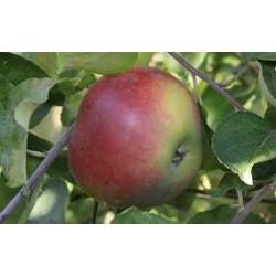 Pomme BELLE-FLEUR (par 500...